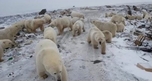 Siberia: invasion of polar bears in the city